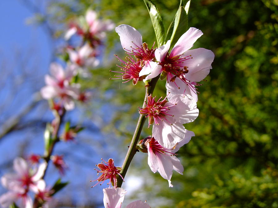 Almond Tree Blossom by Nigel Cameron