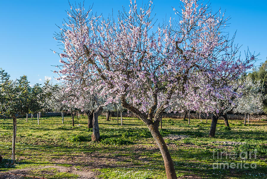 almond trees blooming in winter sun in majorca spain photograph by