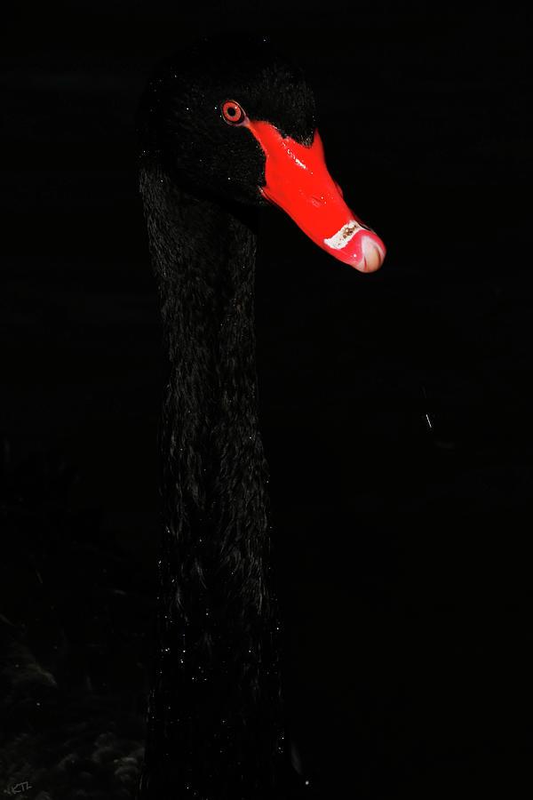 Swan Photograph - Almost Hidden  by Karol Livote