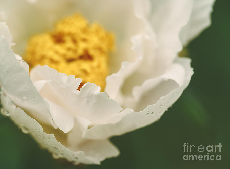 Peony Photograph - Almost White by Mary  Smyth