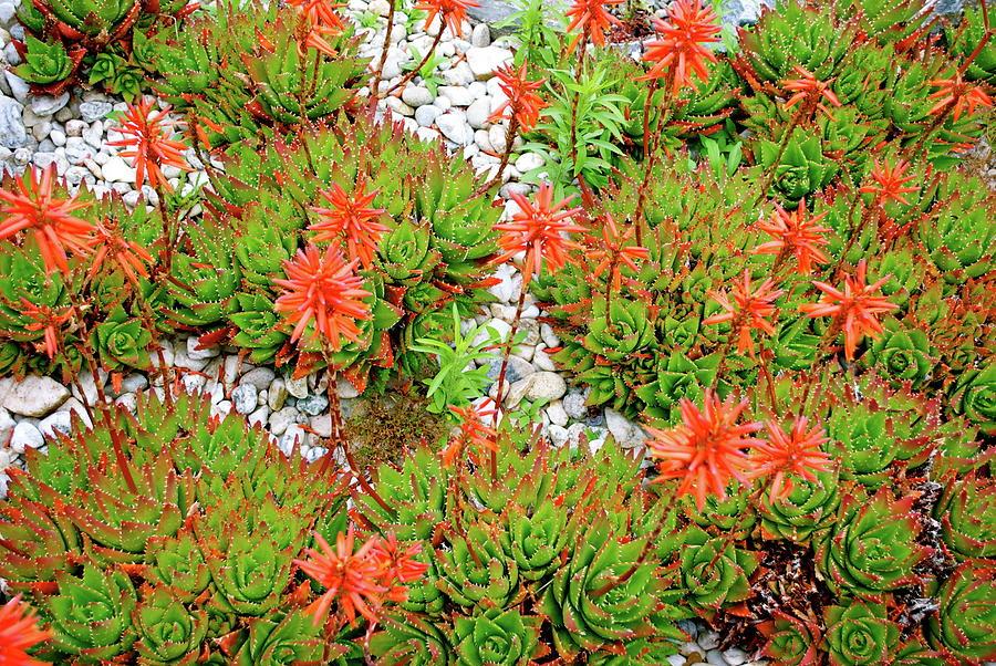 Aloe Aristata Cactus In Bloom Photograph by Lazingbee