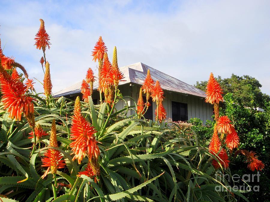 Aloe Vera Photograph - Aloe Vera And Tin Roof Plantation House by Mary Deal
