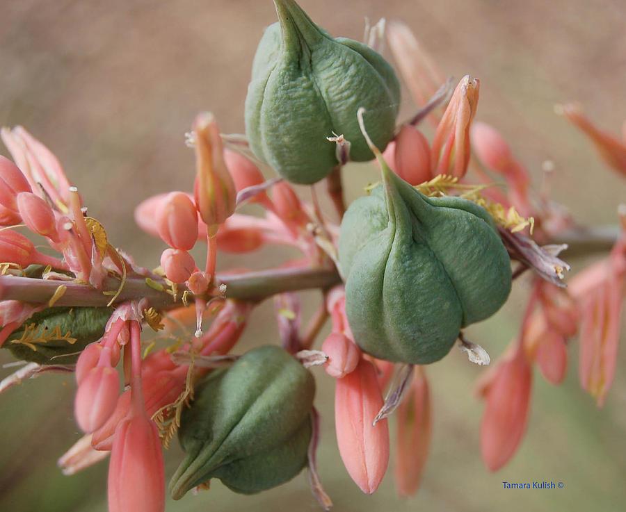 Aloe Photograph - Aloe1-1 by Tamara Kulish
