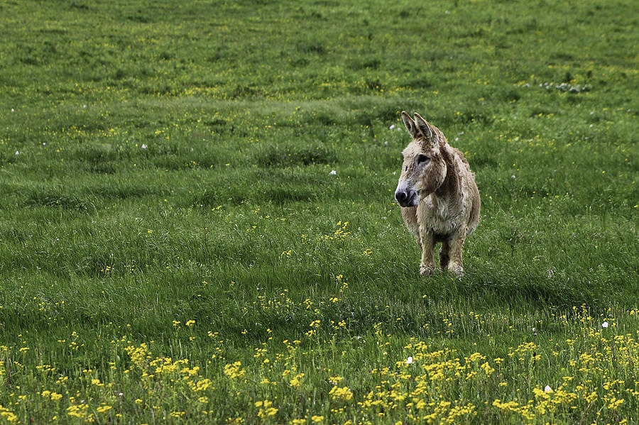 Donkey Photograph - Alone by Kimberly Danner