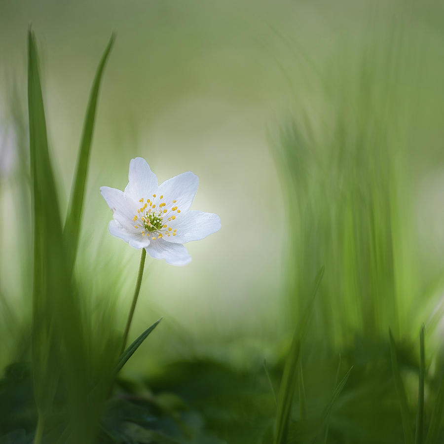 Flower Photograph - Alone......... by Piet Haaksma