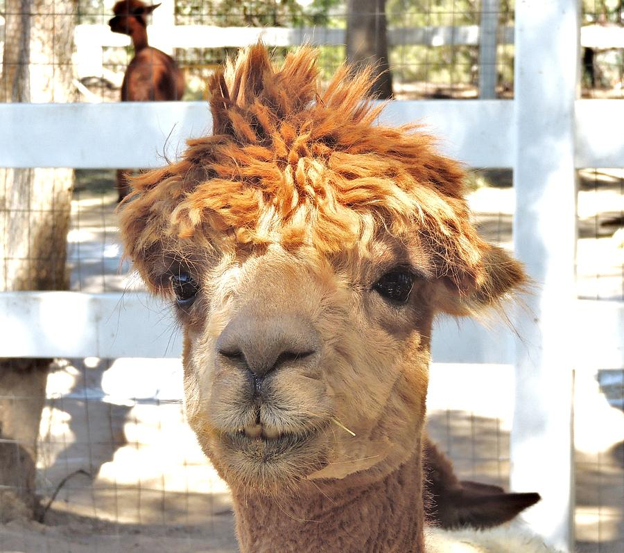 Alpaca Photograph - Alpaca Bed Head by Helen Carson