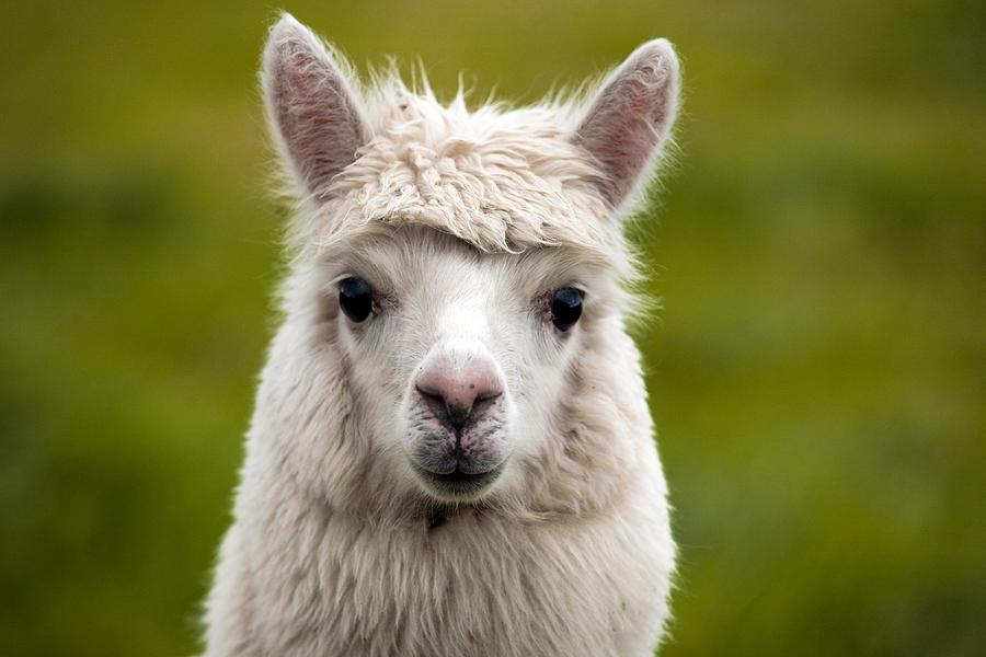 Alpaca Face Alpaca Face Pho...