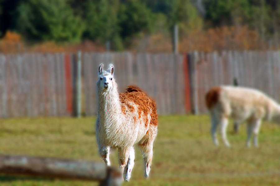 Alpaca Photograph - Alpaca by Rhonda Humphreys