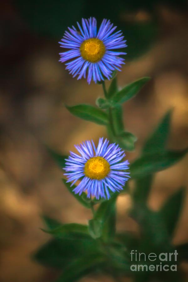 Wild Flowers Photograph - Alpine Aster by Robert Bales