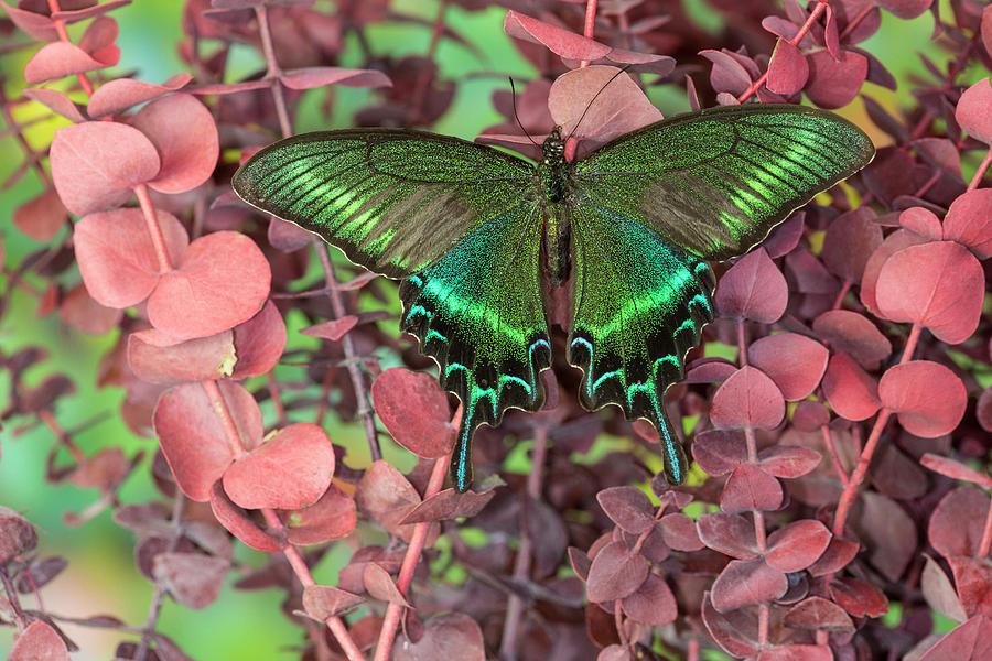 Beauty Photograph - Alpine Black Swallowtail Butterfly by Darrell Gulin