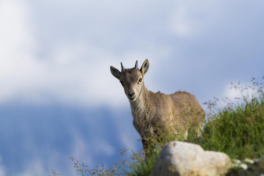 Alpine Ibex Baby Photograph By Mircea Costina Photography