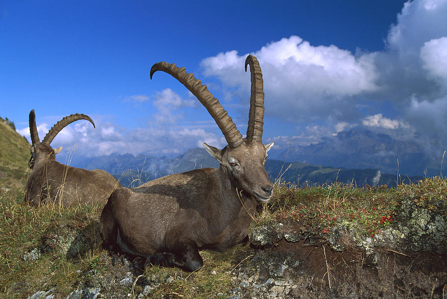 Alpine Ibex Males In The Swiss Alps Photograph by Konrad Wothe
