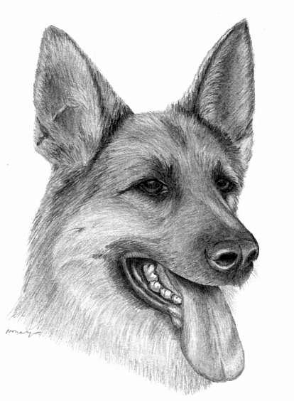 Dog Drawing - Alsation by Mary Mayes
