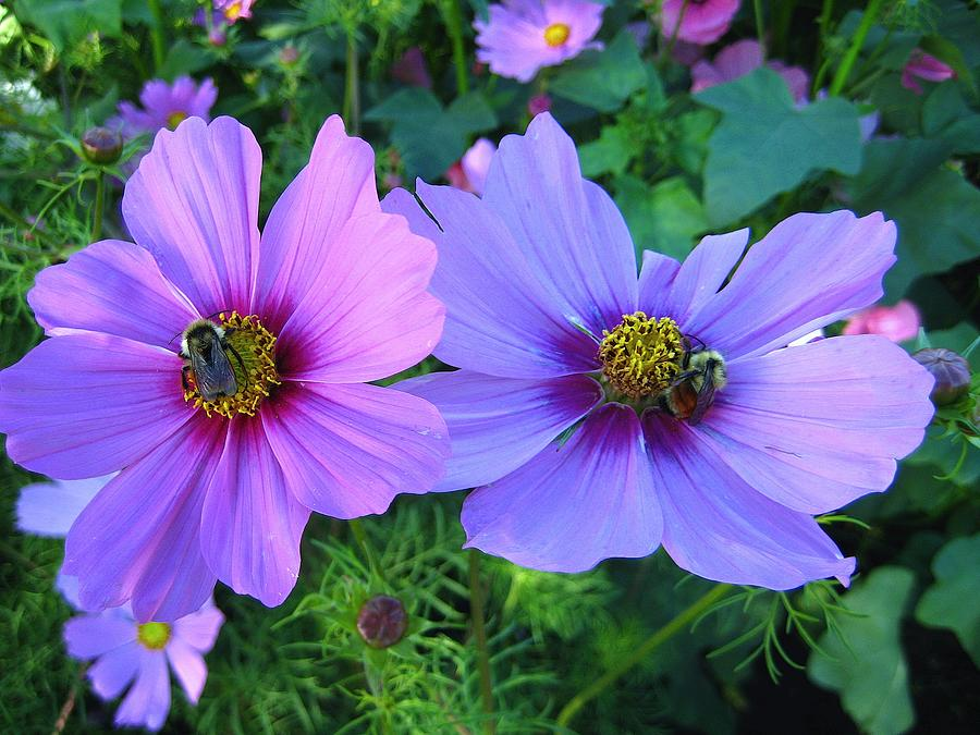 Cosmos Photograph - Always Loved Cosmos by Shirley Sirois