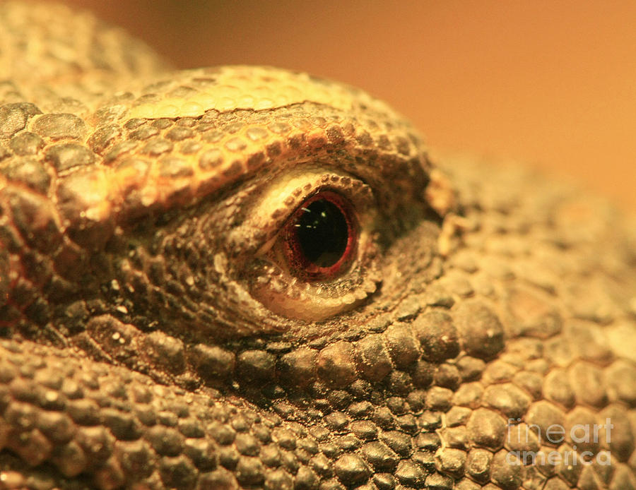 Looking Photograph - Always Watch Your Back - Benti Uromastyx Lizard by Inspired Nature Photography Fine Art Photography