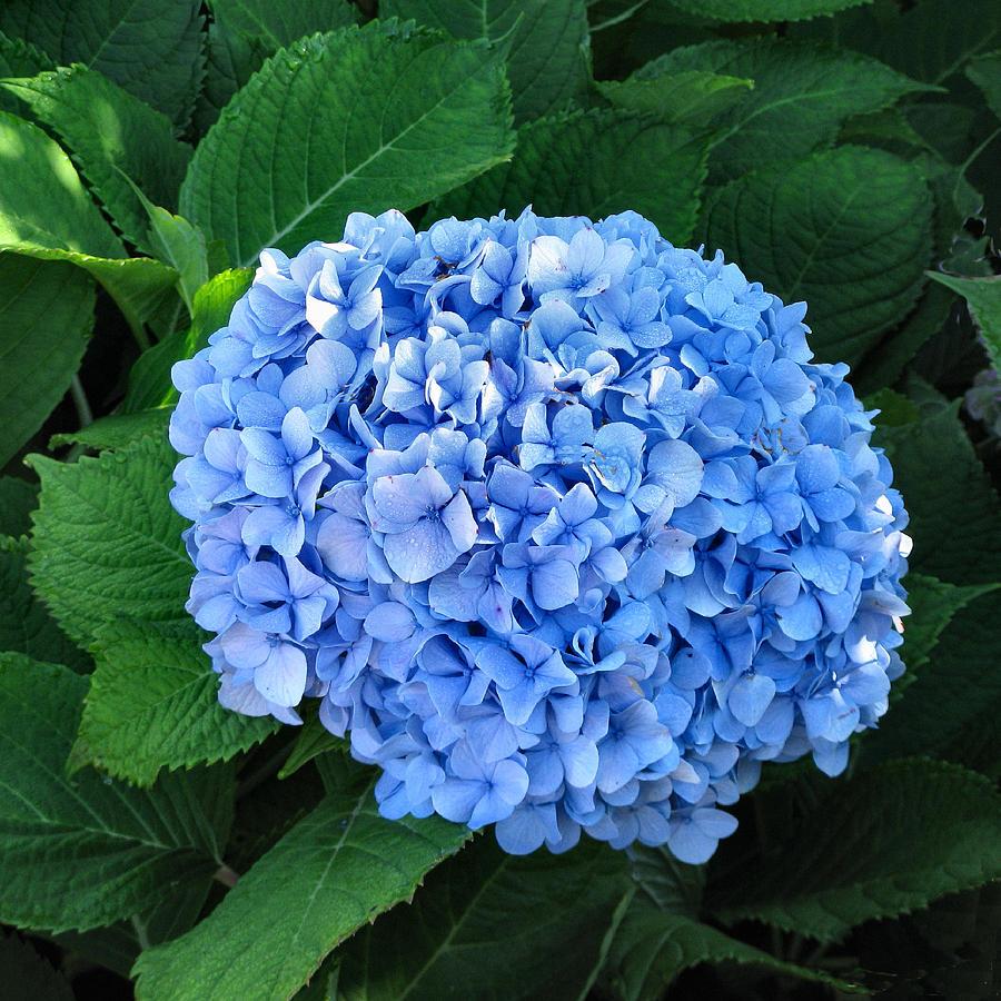 Flower Photograph - Am I Blue? by Lin Grosvenor