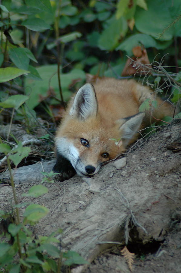 Young Red Fox   Cute Photograph - Am I Cute by Sandra Updyke