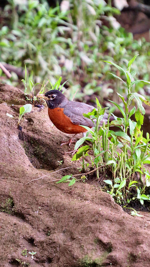 Bird Photograph - Am Robin by Art Dingo