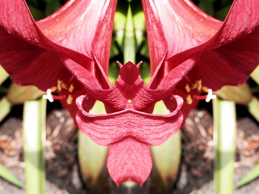 Bright Red Photograph - Amaryllis Art Angel by Belinda Lee
