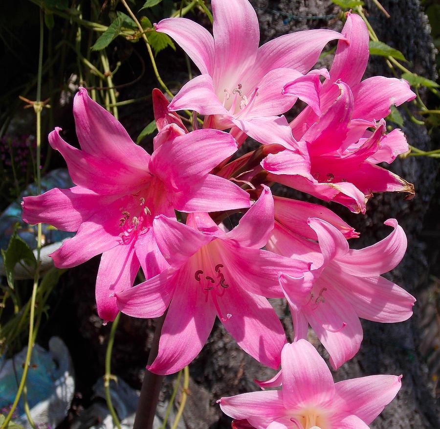 Amaryllis belladonna photograph by susan johansen for Amaryllis belladonna vente