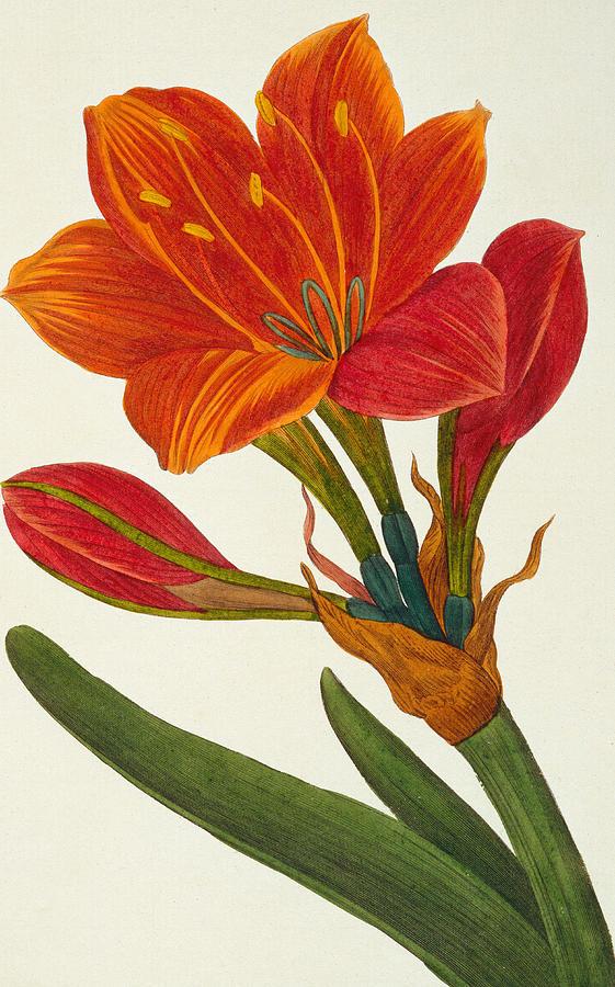 Still Painting - Amaryllis Purpurea by Pancrace Bessa