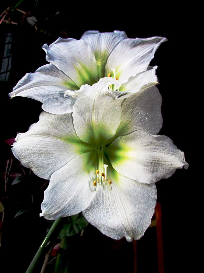 Flowers Photograph - Amaryllis by Will Boutin Photos