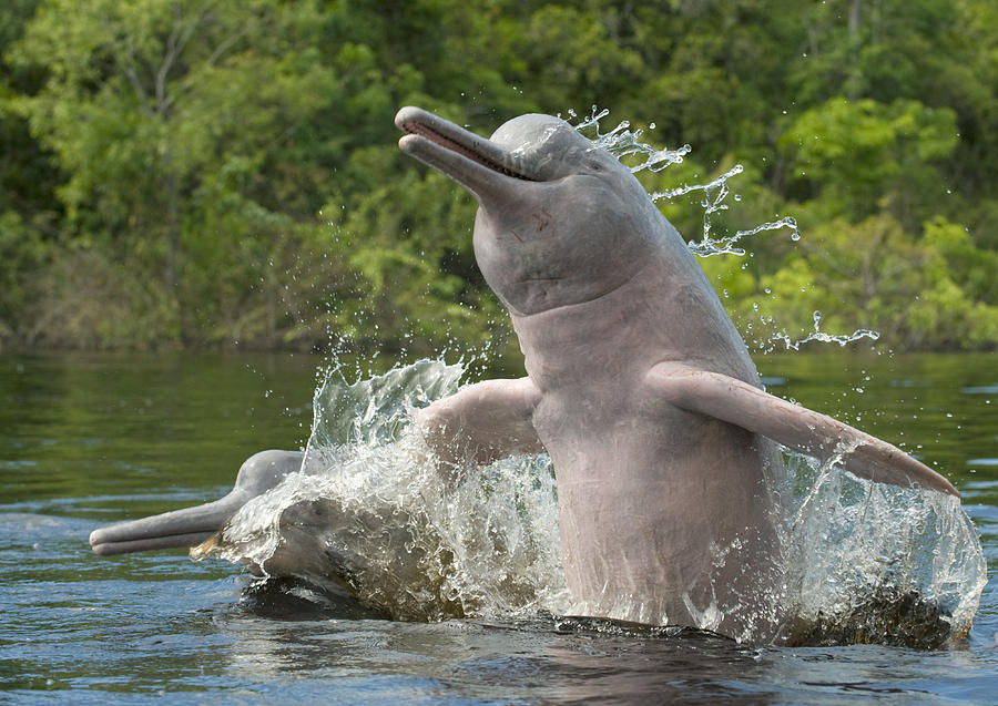 Amazon River Dolphins Jumping Brazil Photograph by Kevin Schafer