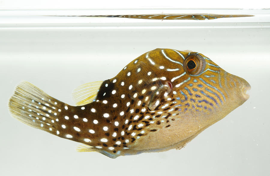 Fish Photograph - Ambon Toby by Brian Magnier