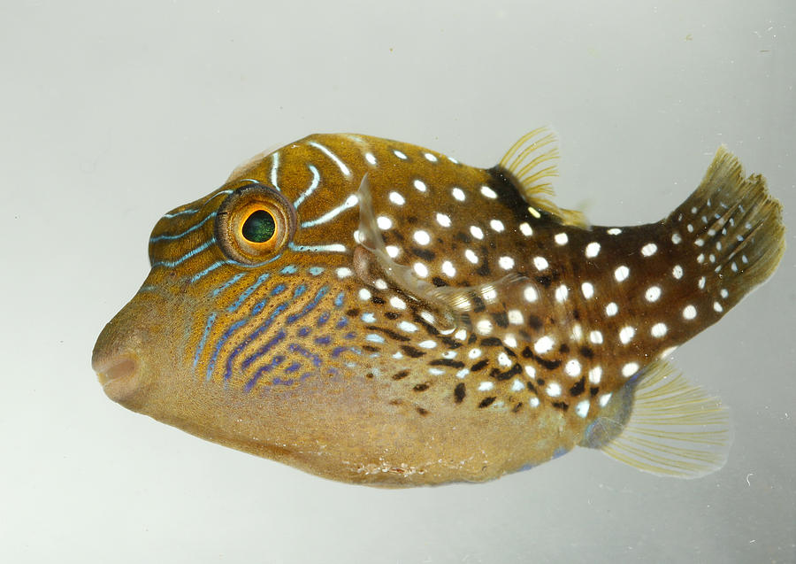 Pufferfish Photograph - Ambon Toby II by Brian Magnier