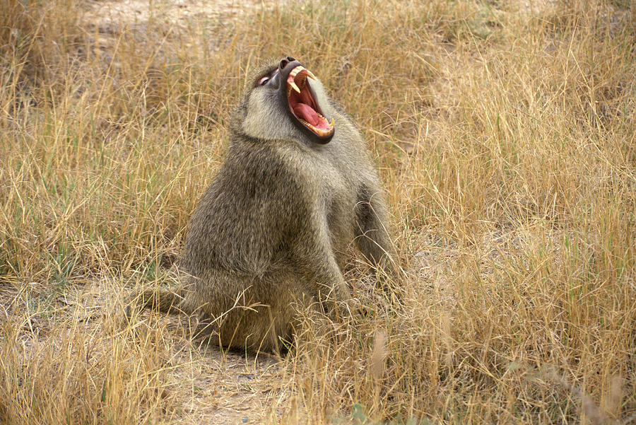 Horizontal Photograph - Amboseli National Park Kenya Yellow by Animal Images