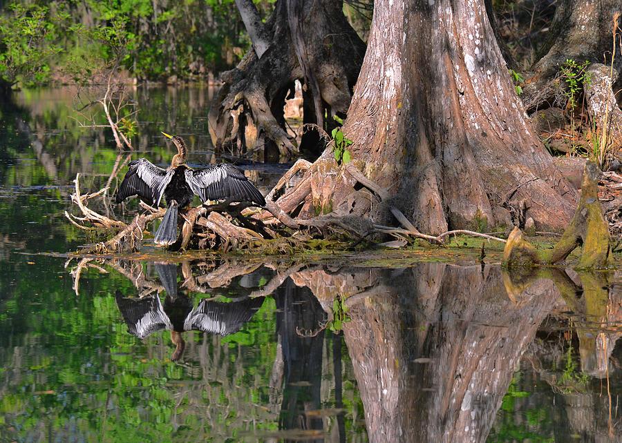 Florida Photograph - American Anhinga Or Snake-bird by Christine Till