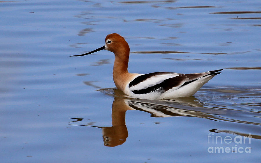 American Avocet Photograph - American Avocet by Marty Fancy