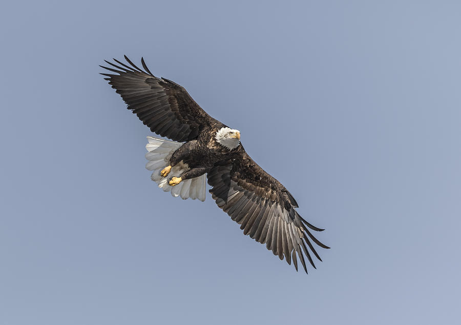 American Bald Eagle 2015-14 Photograph