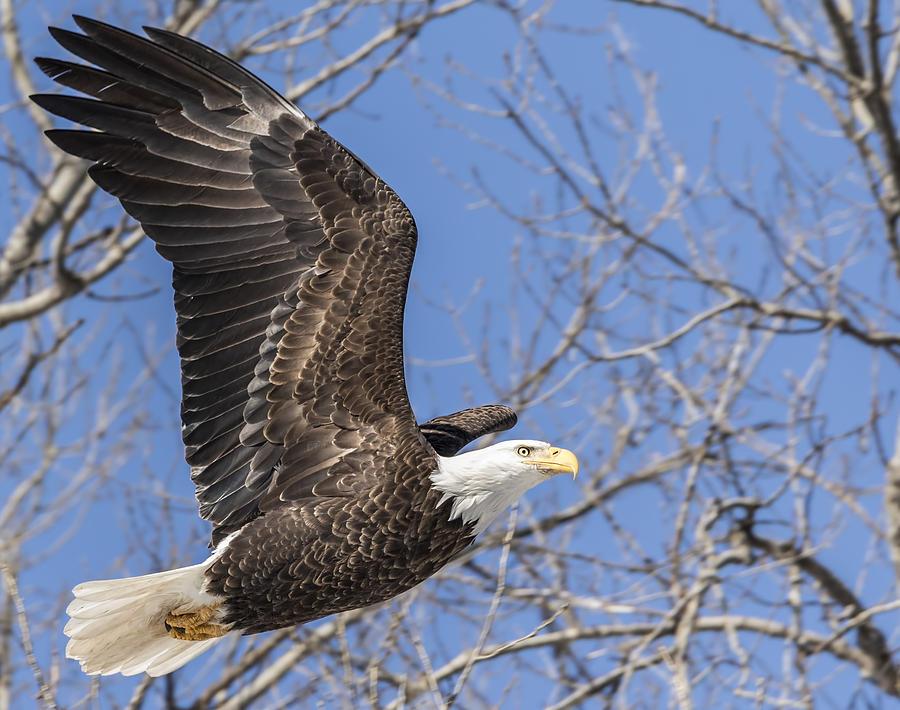 American Bald Eagle 2015-17 Photograph