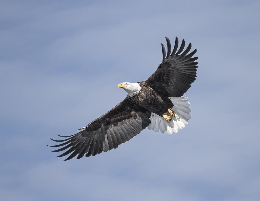 American Bald Eagle 2015-18 Photograph