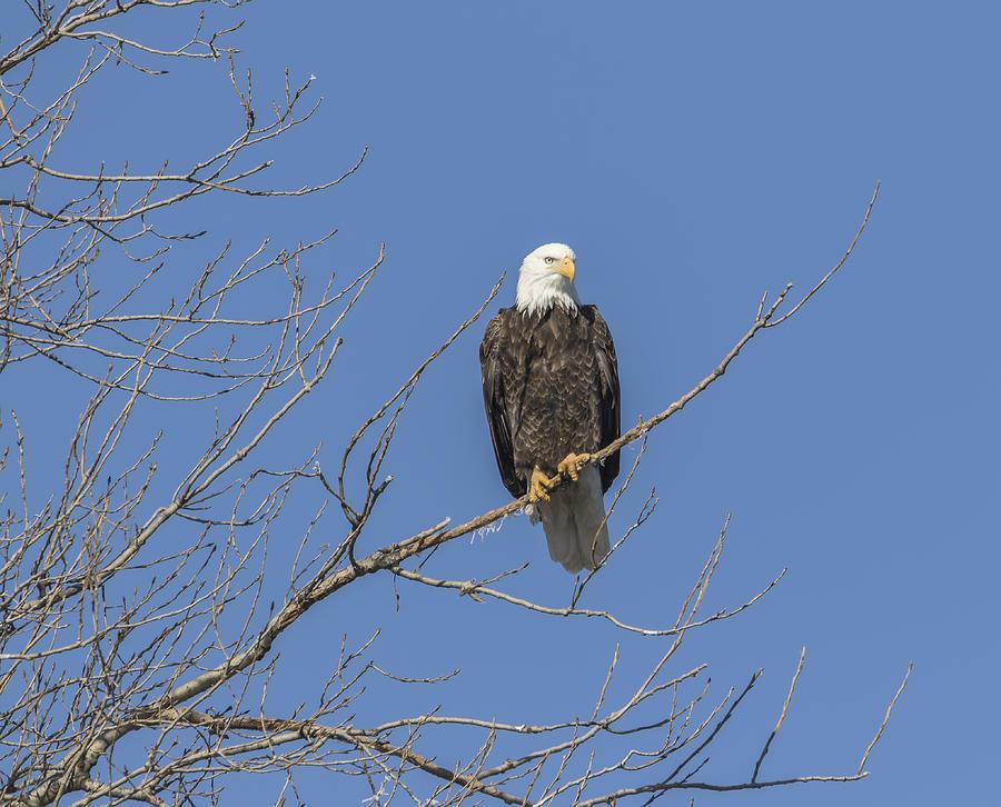 American Bald Eagle 2015-8 Photograph