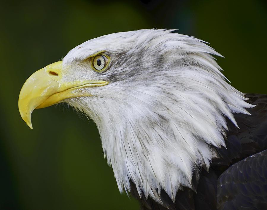 Chris Malone Photograph - American Bald Eagle by Chris Malone