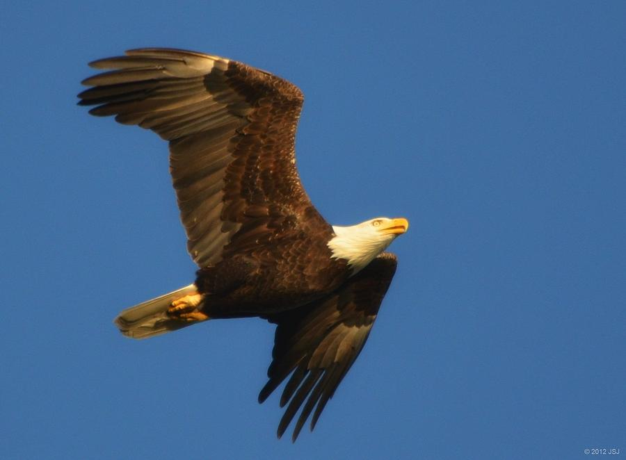 American Photograph - American Bald Eagle Close-ups Over Santa Rosa Sound With Blue Skies by Jeff at JSJ Photography