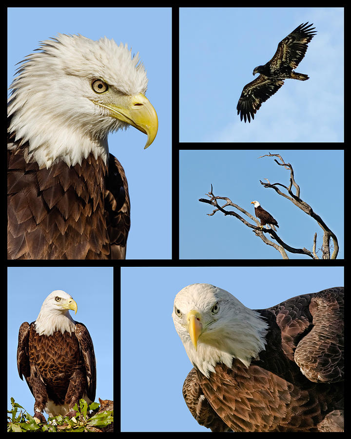 Adult Photograph - American Bald Eagle Collage by Dawn Currie