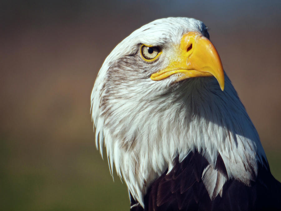 American Bald Eagle Photograph by Neil Howard