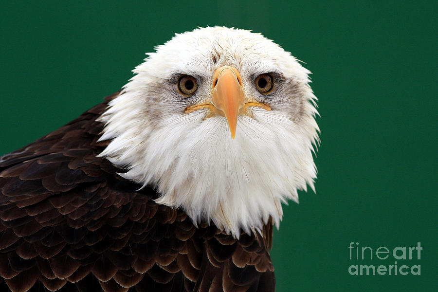 American Bald Eagle Photograph - American Bald Eagle On The Look Out by Inspired Nature Photography Fine Art Photography
