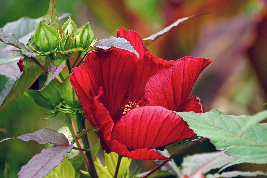 American Beauty --- Hibiscus Coccineus by Byron Varvarigos
