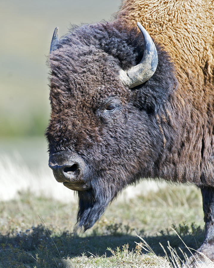 American Photograph - American Bison Closeup by Gary Langley