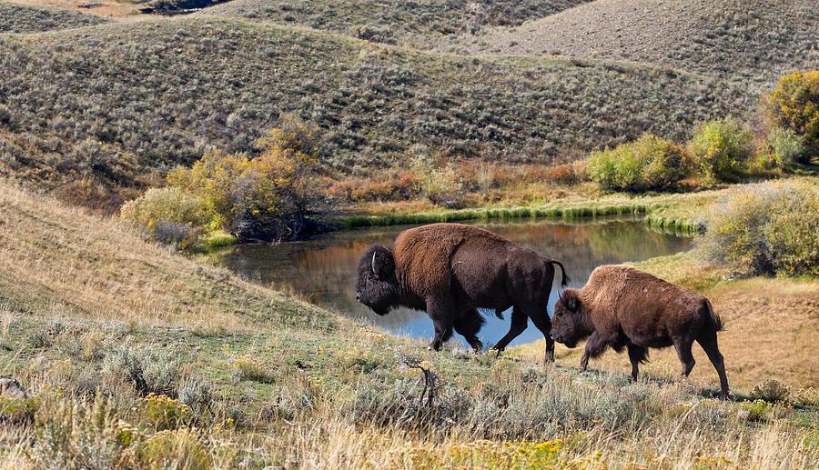 Image result for bison home