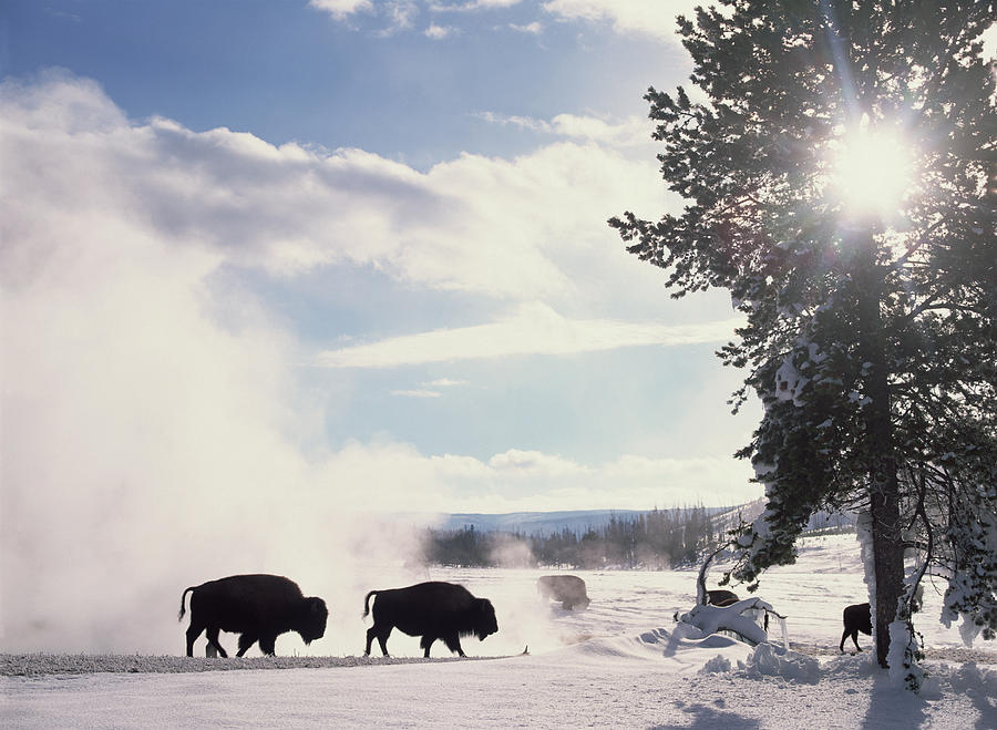 Mp Photograph - American Bison In Winter by Tim Fitzharris