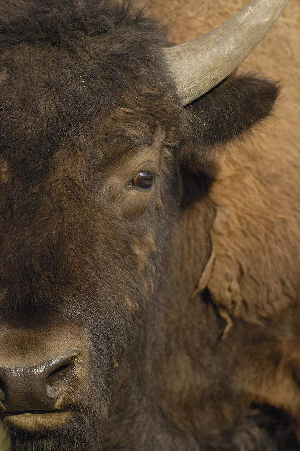 Mp Photograph - American Bison  Male Wyoming by Pete Oxford