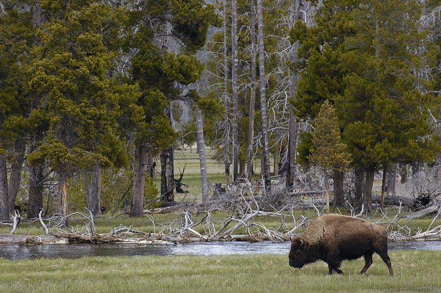 American Bison Male Yellowstone Photograph by Pete Oxford