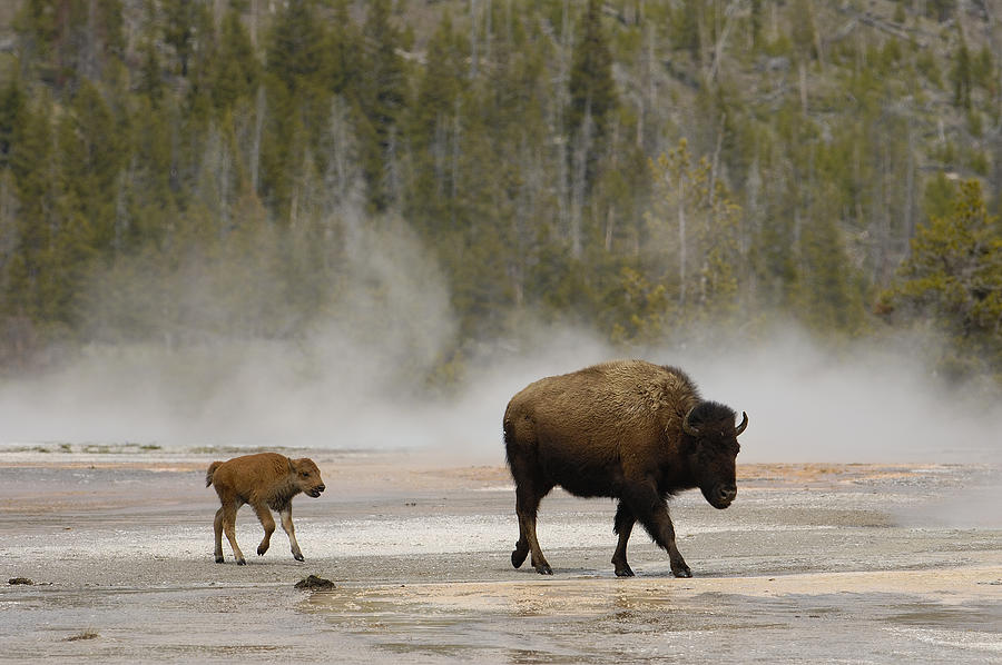 American Bison Mother and Calf Photograph by Pete Oxford