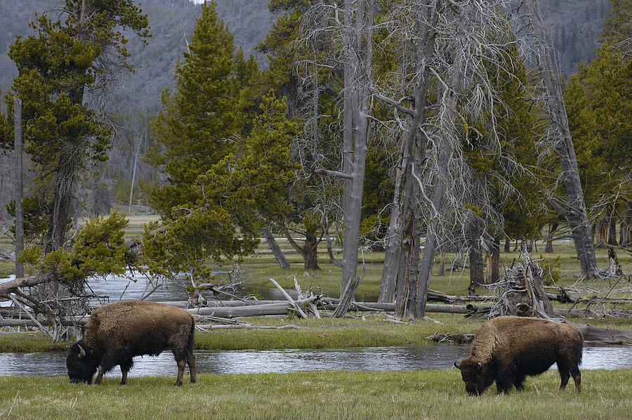 American Bison Pair Yellowstone Photograph by Pete Oxford