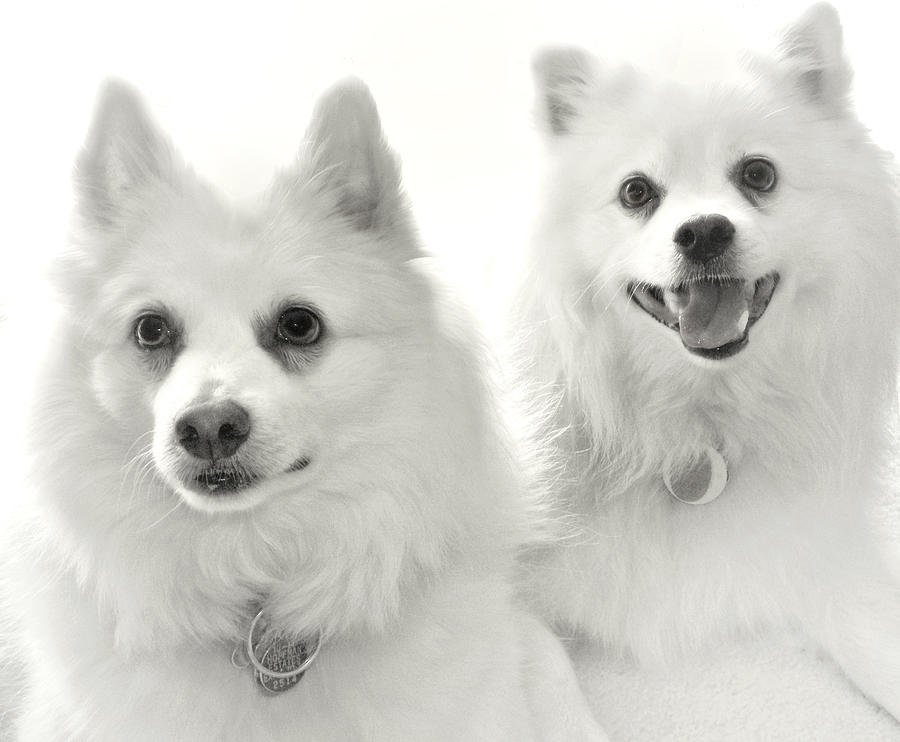 Dogs Photograph - American Eskies by Julie Palencia